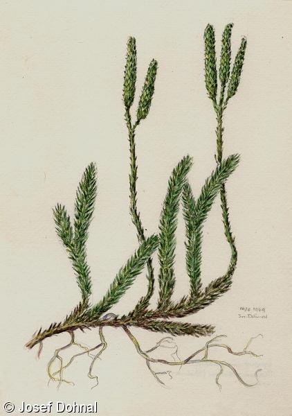 lycopodium clavatum 3c pierdere în greutate top burn fat