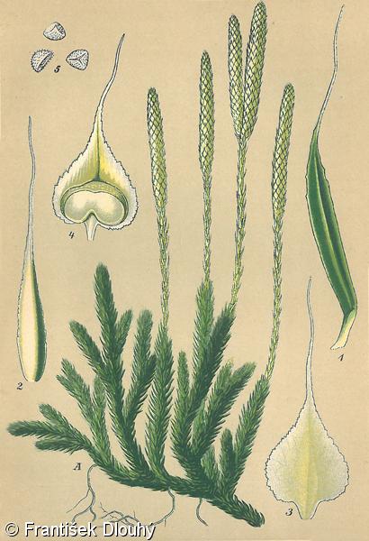lycopodium clavatum 3c pierdere în greutate