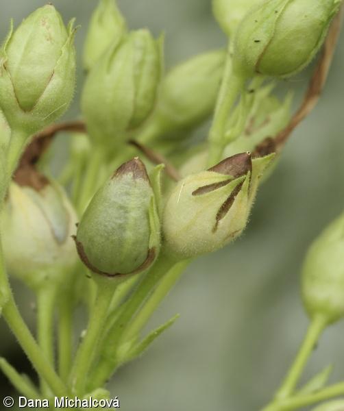 Nicotiana tabacum | :: BOTANICAL PHOTOGALLERY
