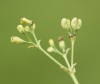 Asperula cynanchica