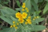 Inula germanica