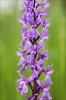 Orchis mascula subsp. signifera