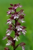 Orchis x hybrida