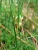 Juncus filiformis